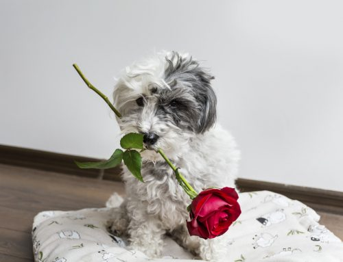 10 Valentine's Day Hazards for Pets